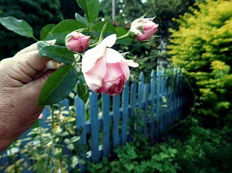 1 ROSE P2