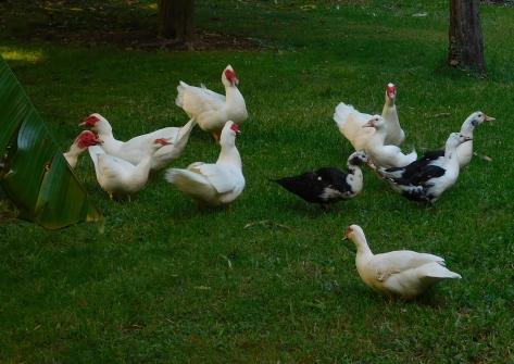 ducks 13